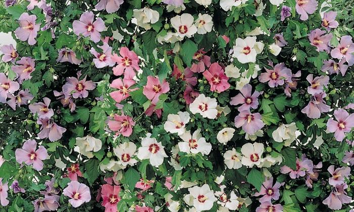 plantes de la collection hibiscus groupon. Black Bedroom Furniture Sets. Home Design Ideas