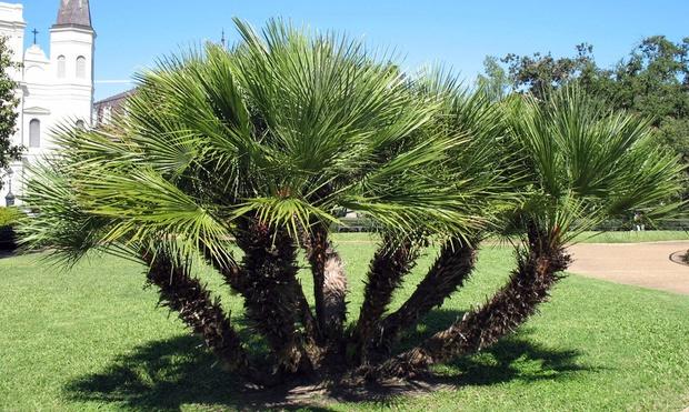 Palmiers 90 120 cm groupon shopping - Manguier resistant au froid ...