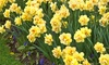 Yellow Daffodil Bulbs Direct from Holland (30 bulbs): Yellow Daffodil Bulbs Direct from Holland (30 bulbs)