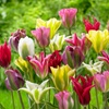 Exotic Viridiflora Tulip Mix (10-Bulbs)