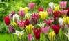 Tulips Viridiflora Exotic Tulip Mix (10 Bulbs): Exotic Viridiflora Tulip Mix (10-Bulbs)
