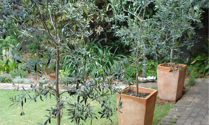 Large Olive Tree Groupon Goods