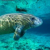 Up to 55% Off Manatee Tour in Crystal River