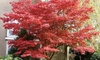 Pre-Order: Japanese Red Maple Tree Bare Root (1-, 2-, or 3-Pack)