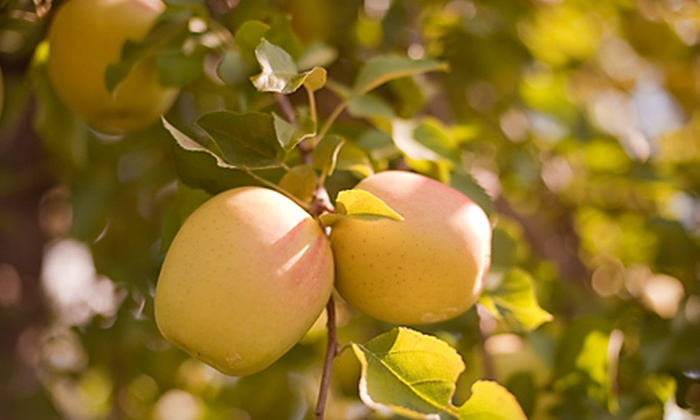 Turkey Knob Apples: $15 for a 7-Pound Variety Pack of Apples with Shipping from Turkey Knob Apples ($30 Value)