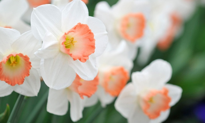 Up to 74 off on flower bulbs 12 18 30 pack groupon goods dutch pink daffodil flower bulbs 12 18 mightylinksfo