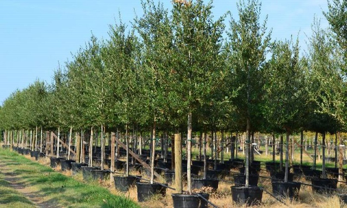 Paul Bunyan Trees - Tampa Bay Area: $150 for a 16-Foot Tree with Delivery and Planting from Paul Bunyan Trees ( $300 Value)