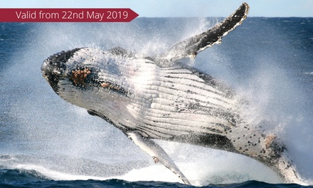 Whale Watching + Refreshments: 1 Person, Weekday ($37) or 2 Ppl, Weekend ($76) with Go Whale Watching (Up to $152 Value)
