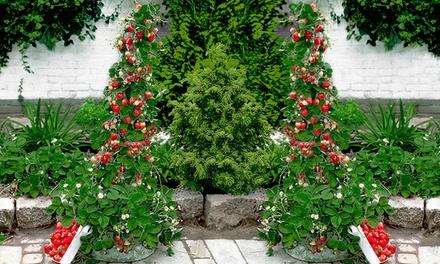 """2er, 3er- oder 4er-Set Pflanzen Kletter-Erdbeere """"Hummi®"""" (bis zu 38% sparen*)"""