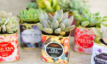 Six, Nine or 12 Mini Succulent Plants