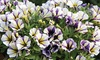 5, 10 or 20 Petunia Blueberry Muffin Plug Plants