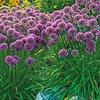 Summer Flowering Globeflower Millenium (3 Bareroot)
