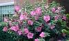 One or Two Hibiscus Woodbridge Standard 19cm Pot