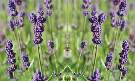 Lavender Lucky Dip Plug Plants Mix