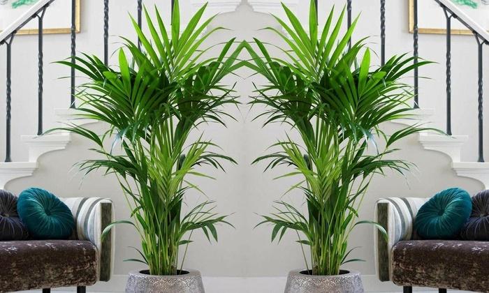 jusqu 39 55 palmier d 39 int rieur kentia groupon. Black Bedroom Furniture Sets. Home Design Ideas
