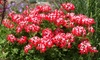 Geranium Summer Twist Plant