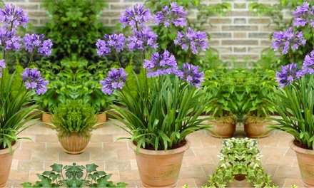 Agapanthus Charlotte Blue NIle Lily from £14.99 With Free Delivery
