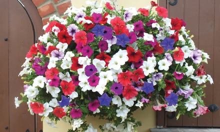 Petunia 'Surfinia' Collection Up to 20 Plants with Optional Hanging Basket