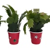 "Live 2"" Christmas Cactus Plants in Decorative Pots (3-Pack)"