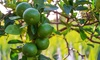 Mexican Key, Persian, or Kieffir Lime Citrus Potted Trees