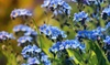 Forget Me Not Flower Seeds (1lb.)