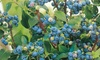 Blueberry Collection of Three Varieties 9cm Pots