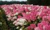 2 o 4 arbustos hydrangea paniculata vanille fraise