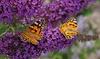 3 et 6 arbres papillons 25-35cm