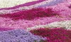 5, 10 or 30 Phlox Creeping Plants