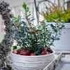 Festive Holly Plants