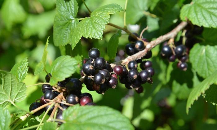 Piante Di Frutti Di Bosco : Piante di frutti bosco groupon goods
