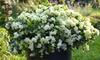 Azalea Romantic Lime Green Plant