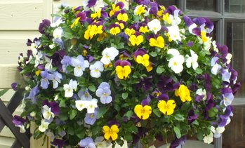 Two Winter Viola Hanging Baskets