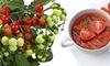3x oder 6x Heartbreaker-Tomatenpflanzen