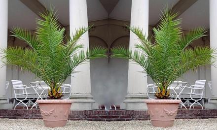 1x, 2x oder 4x Kanarische Dattelpalme in 60 70 cm oder 100 120 cm Höhe