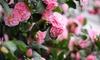 Set de 3 camellias japónicas