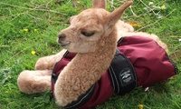 Alpaca Experience for Two or Four at Netherfield Alpacas (Up to 48% Off)