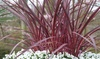 Plante Cabbage Palm Cordyline