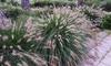 Herbe Pennisetum alopecuroides