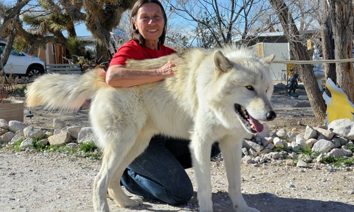 Wolf Interaction - Wolf Mountain Sanctuary | Groupon