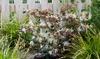 """1 ou 2 plants de Loropetalum """"ruby snow"""""""