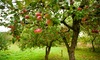 3 x Orchard Fruit Tree Collection