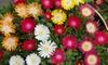 Dazzling Delosperma Plant Collection