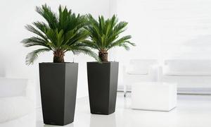 Palmiers Cycas Sago 50-60 cm