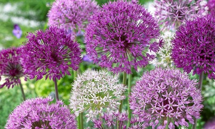 35 Bulb Allium Shade Collection