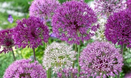 35 Allium Bulbs with Optional Planters