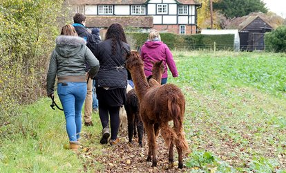 image for Two-Hour Alpaca Experience for Two or a Family at Wyld Court Alpacas (Up to 38% Off)