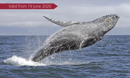 Whale Watching Cruise with Meal: Weekday ($45) or Weekend Ticket ($49) with Oz Whale Watching (Up to $99 Value)