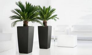 Set de palmiers Cycas King Sago