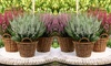 Groupon Goods Global GmbH: 6, 12 or 24 Winter Hardy Evergreen Heather Plants